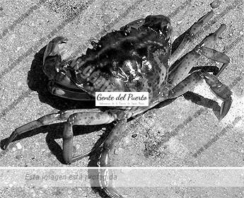 cangrejomariquita_puertosantamaria