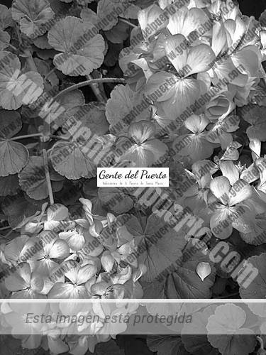 flores-geraneo-patio