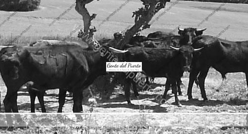 Ganado-de-Reyno-de-Navarra