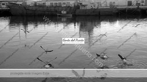 gaviotas1_puertosantamaria