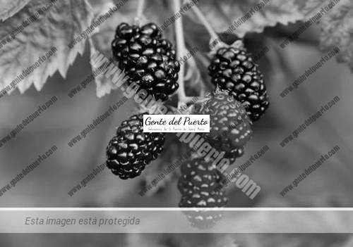 mora-morera-arbol-jardineros-paisajistas-disenadores_MLA-O-3242683362_102012